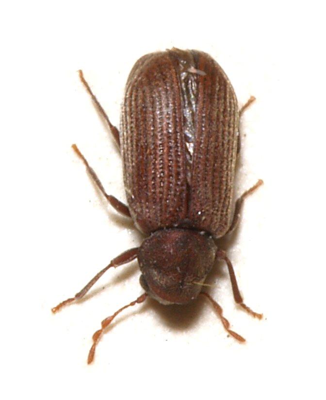 Servicios de control de carcoma termitas y hongos for Carcoma de la madera